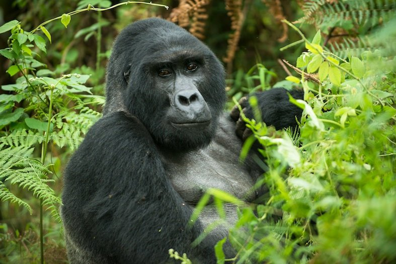 3 Days Gorilla Habituation Bwindi