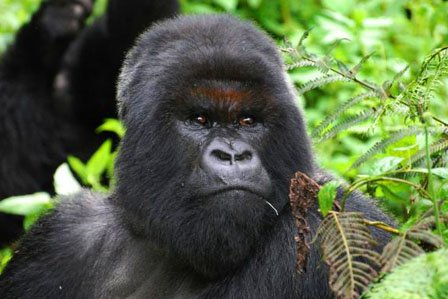 Gorilla trekking age limit in Uganda