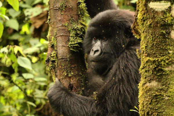 when to go gorilla trekking (2)