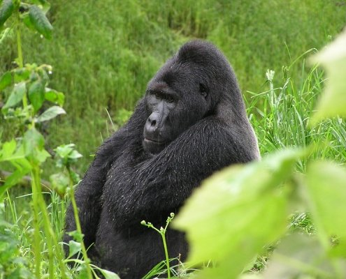 Bwindi impenetrable forest gorilla trekking